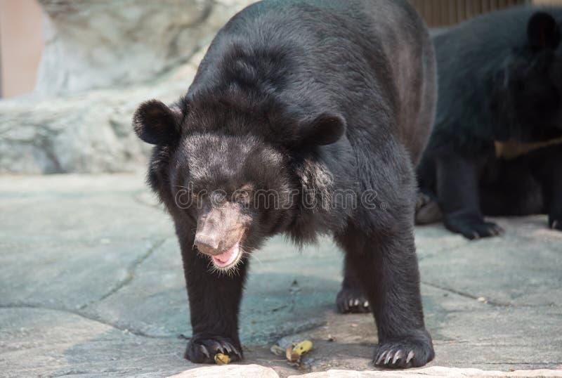 Imagem de um urso preto foto de stock
