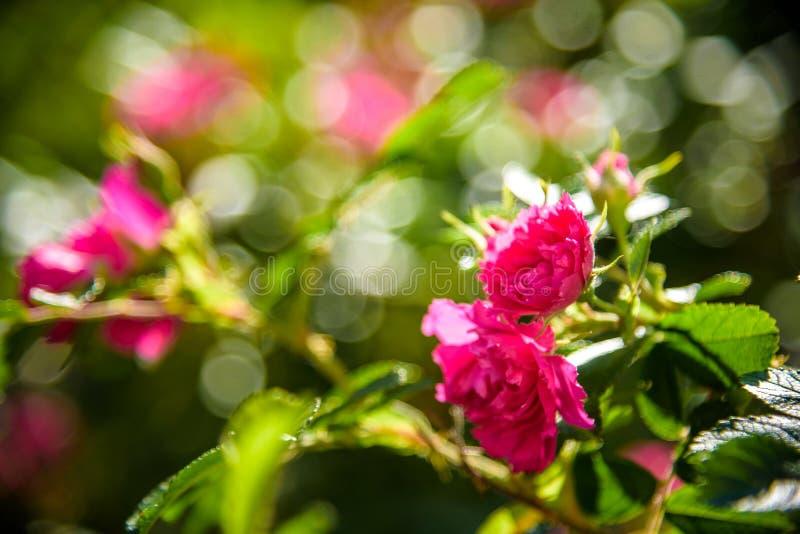 Imagem de uma flor vermelha f?cil do nutkana de Rosa que prospere e seja bonita com p?talas de floresc?ncia as imagens podem ser  ilustração do vetor