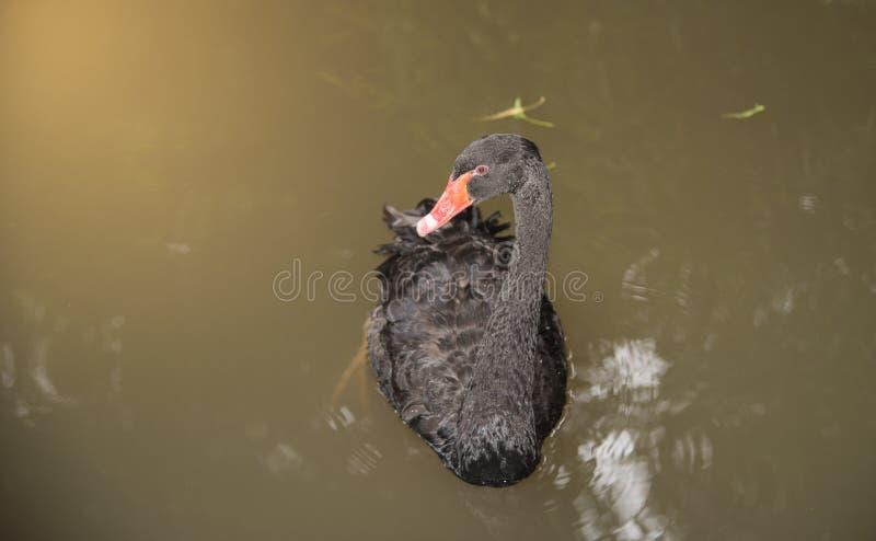 Imagem de uma natação da cisne preta em uma associação imagens de stock royalty free