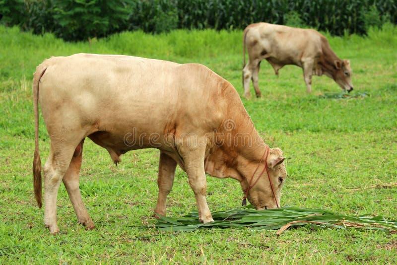 Imagem de uma vaca marrom fotografia de stock