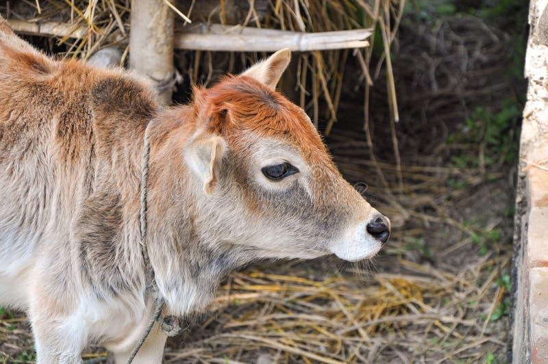 Imagem de uma vaca nova com cabelo colorido em uma vila na manhã que pasta a grama imagens de stock royalty free