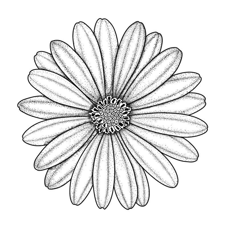 Imagem desenhado à mão do vetor da camomila, da margarida, do gerbera ou do crisântemo ilustração royalty free