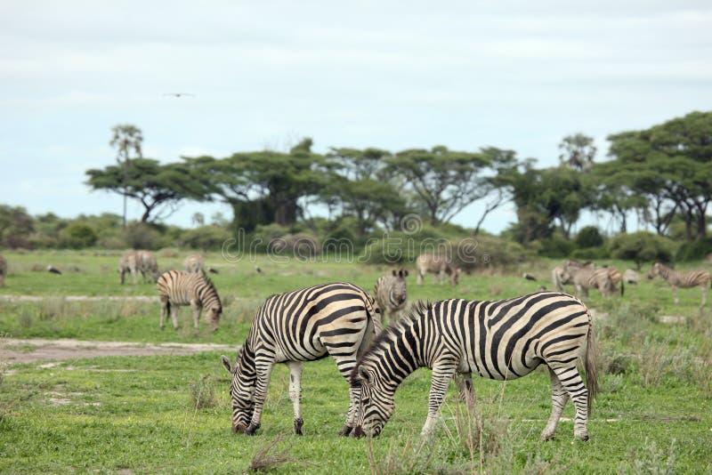 Imagem do animal selvagem do savana de Botswana África da zebra fotografia de stock