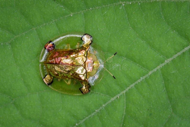Imagem do besouro da tartaruga do ouro imagens de stock royalty free