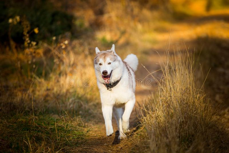 Imagem do cão de puxar trenós Siberian da raça engraçada e feliz do cão que corre no trajeto na floresta dourada brilhante do out imagem de stock royalty free