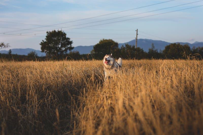 Imagem do cão de puxar trenós Siberian da raça feliz do cão que corre no trajeto no campo do centeio imagem de stock royalty free
