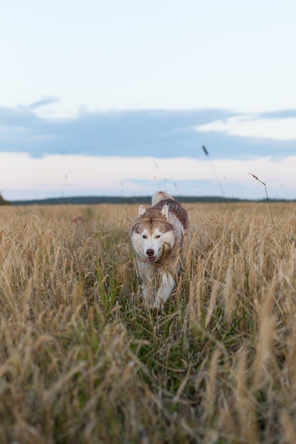 Imagem do cão de puxar trenós Siberian da raça feliz do cão que corre no trajeto no campo do centeio fotografia de stock
