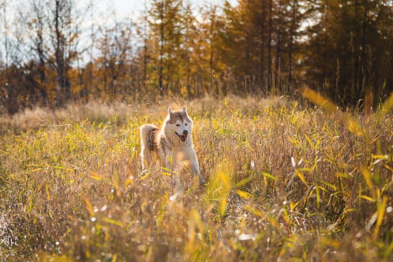 Imagem do cão de puxar trenós Siberian da raça feliz do cão que salta no fundo do campo do centeio Cão ronco bege e branco bonito fotografia de stock