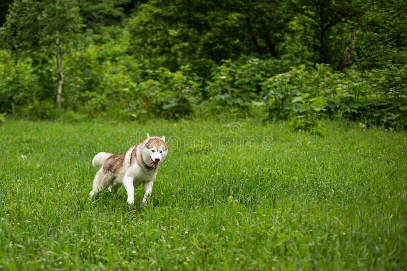 Imagem do cão de puxar trenós Siberian da raça do cão que corre no fundo da grama verde O cão ronco bege e branco bonito tem o di foto de stock