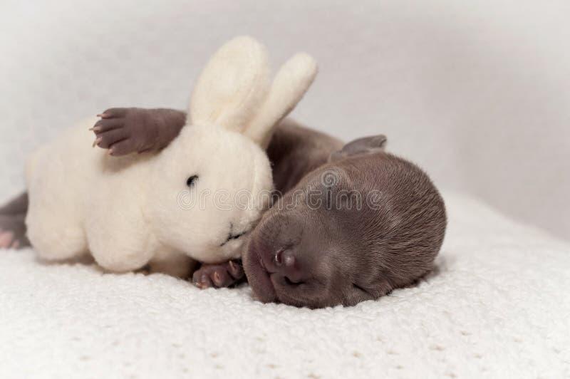 Imagem do cachorrinho bonito do amstaff um mês velho fotografia de stock royalty free