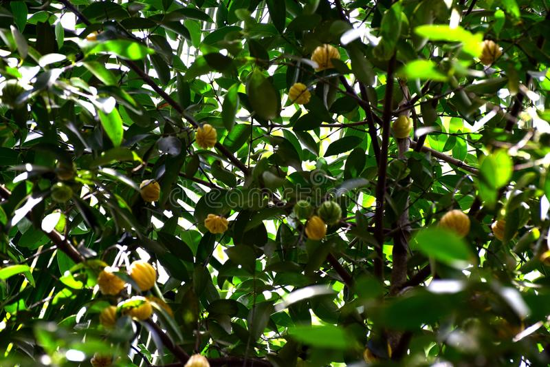Imagem do cambodgia crescida em uma árvore do cambodgia imagens de stock