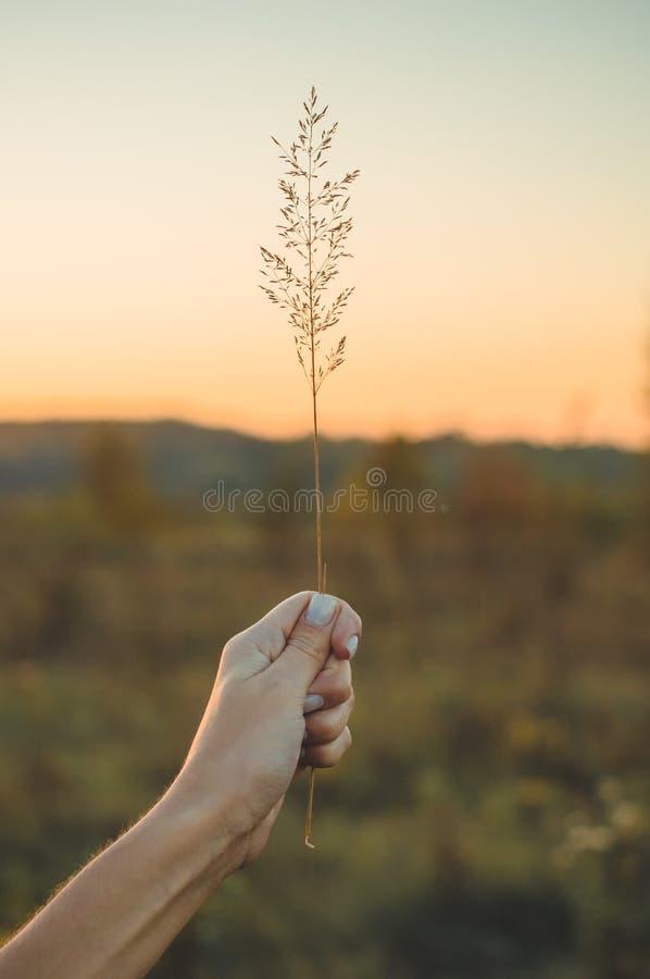 Imagem do campo de flor marrom da grama com fundo claro do bokeh e do por do sol Imagem dourada da flor da grama na mão fêmea fotografia de stock royalty free
