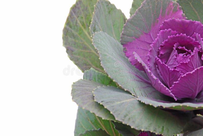 Imagem do close up da couve imagem de stock