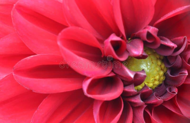 Imagem do close up da d?lia foto de stock