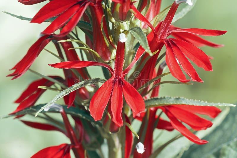 Imagem do close-up da flor cardinal imagem de stock royalty free