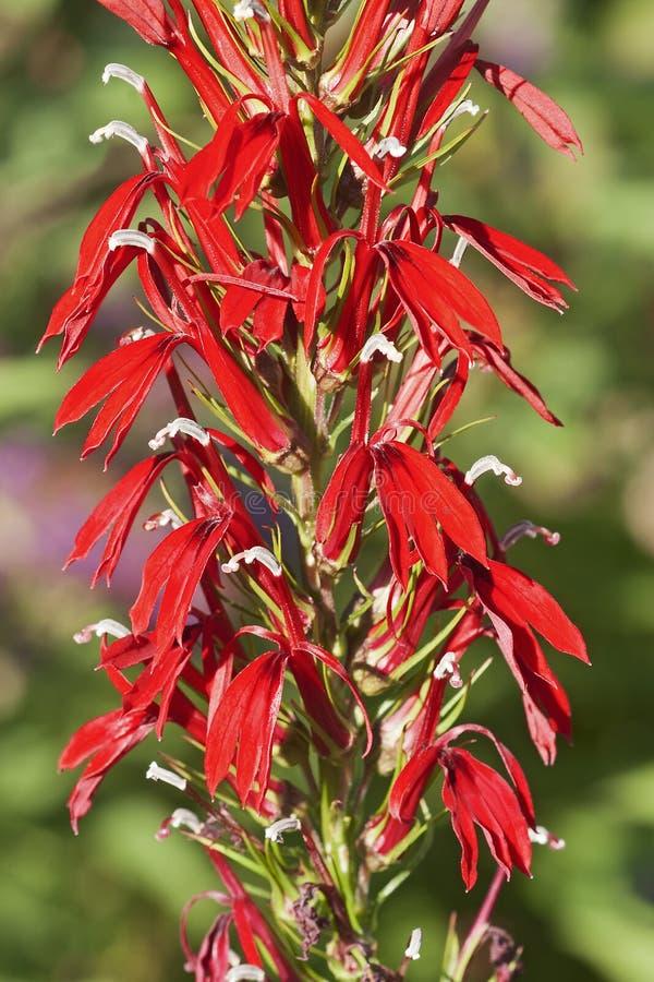 Imagem do close-up da flor cardinal fotos de stock