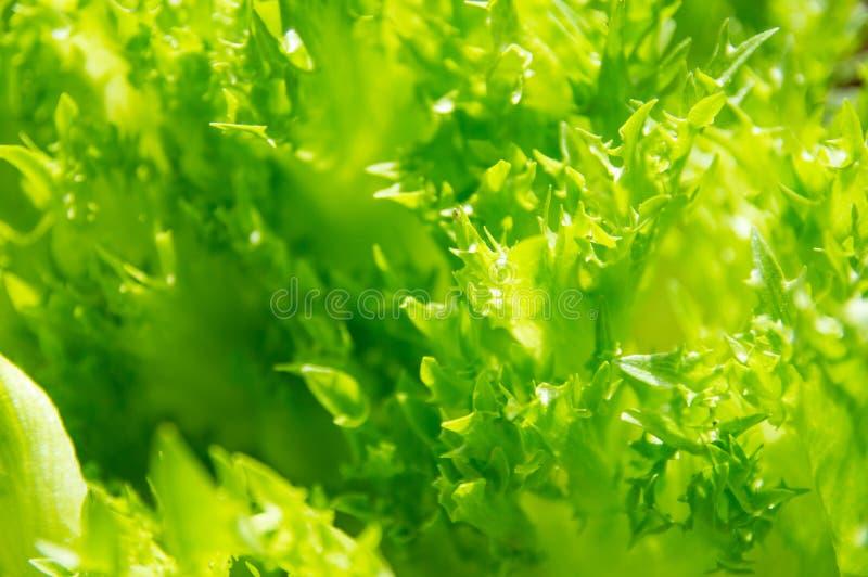 Imagem do close-up da salada verde do carvalho imagem de stock