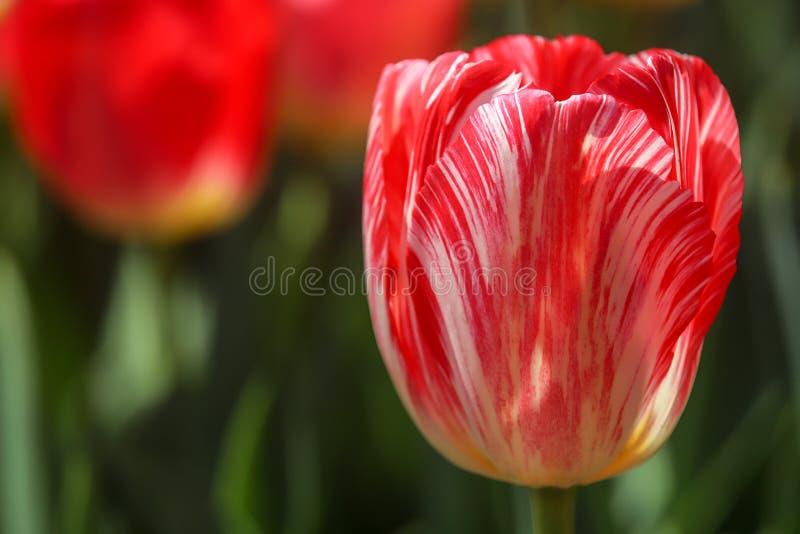 Imagem do close up da tulipa imagem de stock