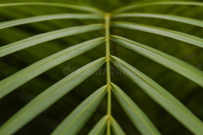 Imagem do close-up das folhas de palmeira da areca fotos de stock royalty free