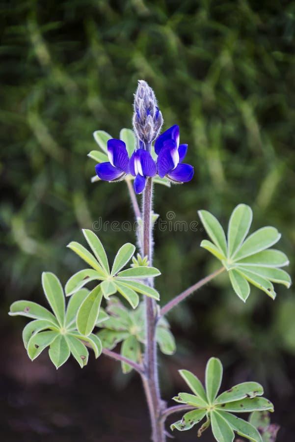 Imagem do close up de um bluebonnet fotografia de stock