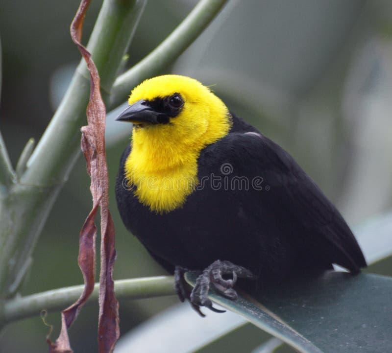 Imagem do close up do melro Amarelo-encapuçado fotos de stock royalty free