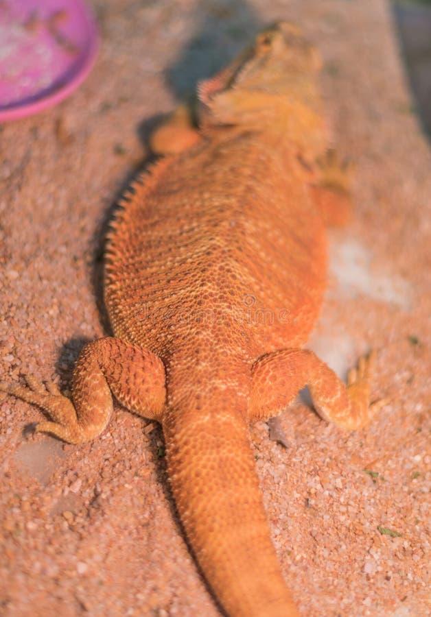 imagem do dragão farpado & do x28; Vitticeps& x29 de Pogona; na areia imagens de stock
