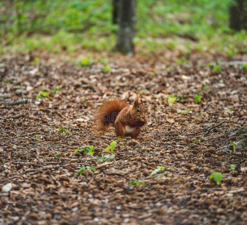 Imagem do esquilo que come uma porca ao sentar-se na terra na floresta imagens de stock