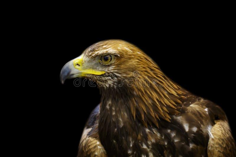 Imagem do falcão dourado no fundo preto p?ssaros Animais selvagens imagens de stock