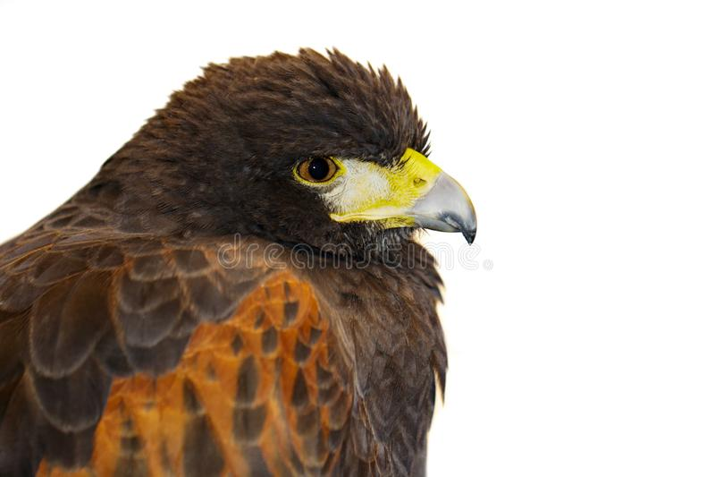Imagem do falcão vermelho no fundo branco p?ssaros Animais selvagens foto de stock royalty free