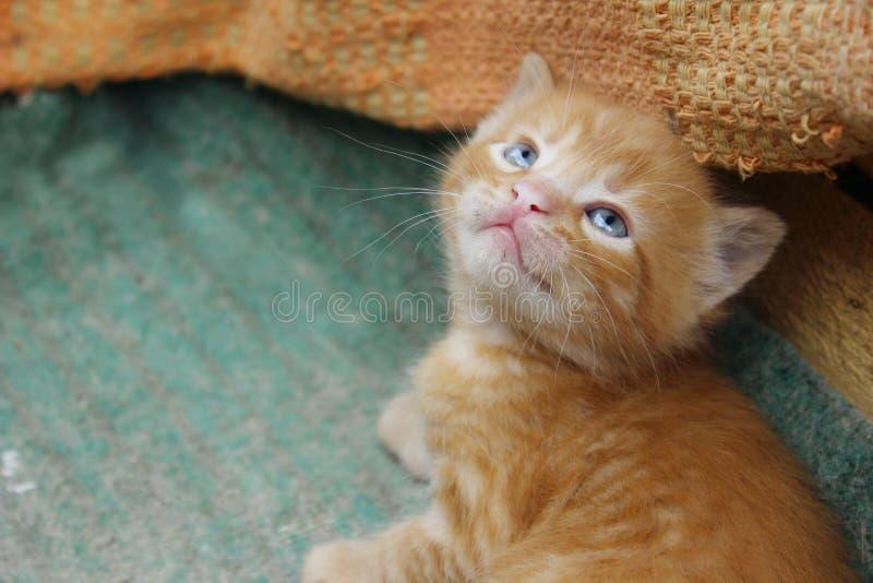 imagem do gatinho vermelho bonito do gato malhado Animais dia, mamífero, conceito dos animais de estimação fotografia de stock