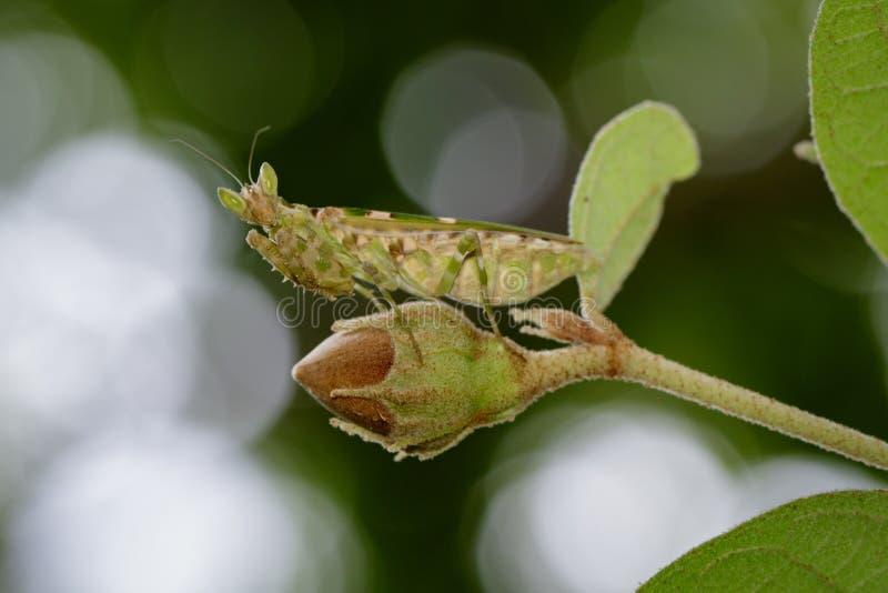 Imagem do gemmatus do mantisCreobroter da flor nas folhas verdes fotografia de stock