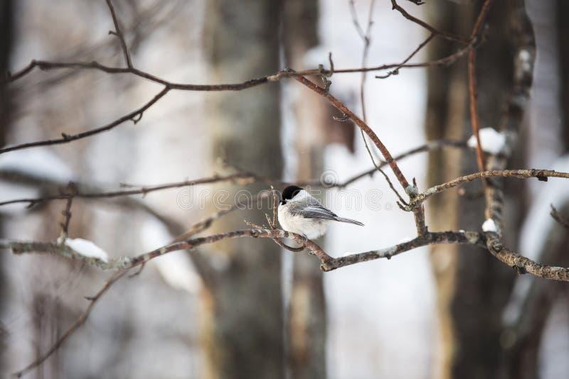 Imagem do pássaro bonito e minúsculo do melharuco do pântano que senta-se no ramo na floresta do inverno fotografia de stock royalty free