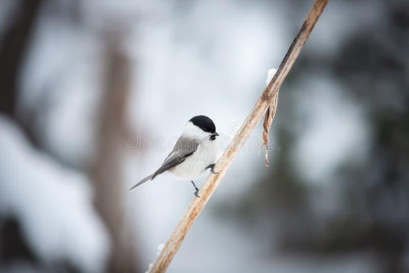 Imagem do pássaro bonito e minúsculo do melharuco do pântano que senta-se no ramo na floresta do inverno fotografia de stock