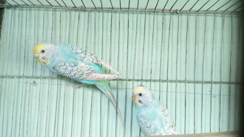 Imagem do pássaro de Bajri imagens de stock royalty free