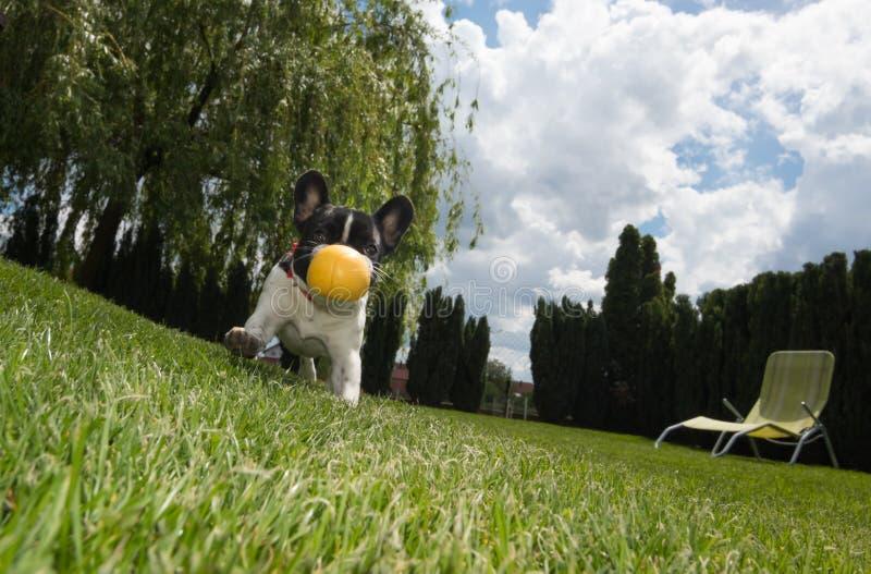 Imagem do retrato de um cachorrinho do buldogue franc?s que esteja estando na jarda na grama foto de stock royalty free