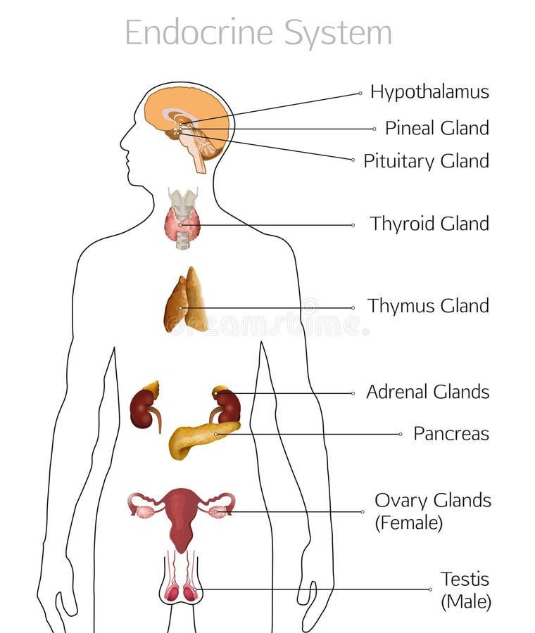 Imagem do sistema de glândula endócrina ilustração royalty free