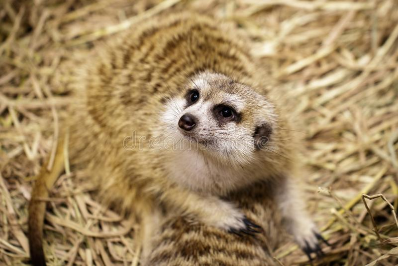 Imagem do suricatta do Suricata do meerkat no fundo da natureza Animais selvagens fotografia de stock royalty free