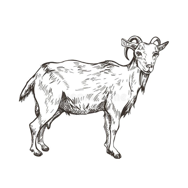 Imagem do vetor da cabra no estilo da gravura Ilustração agrícola ilustração royalty free