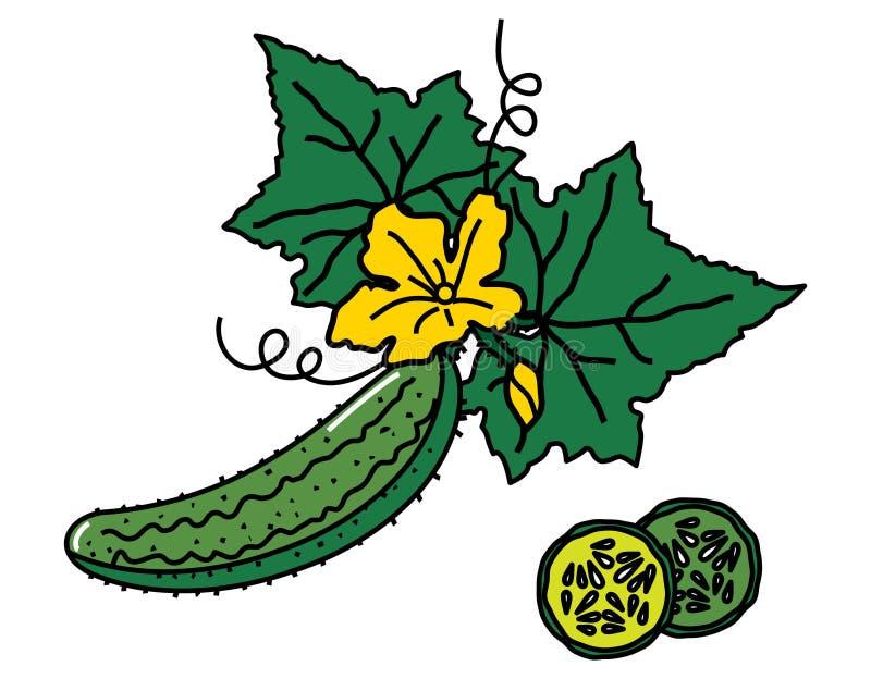 Imagem do vetor do pepino com folhas e fatias ilustração stock