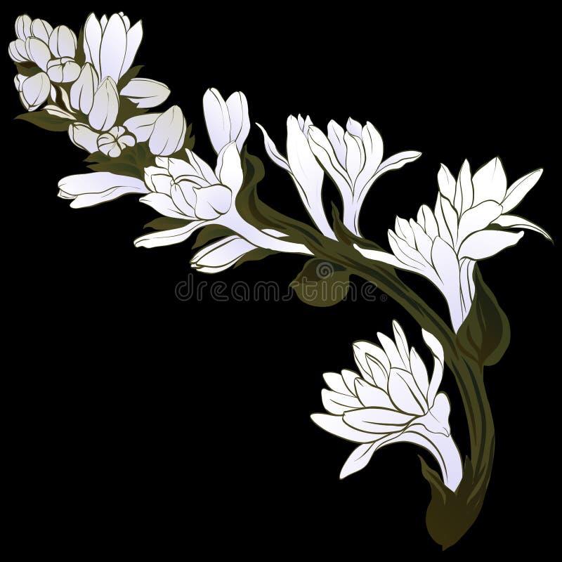 Imagem do vetor Tuberose - ramos plantas medicinais, da perfumaria e do cosmético wallpaper Use materiais impressos, sinais, cart ilustração do vetor