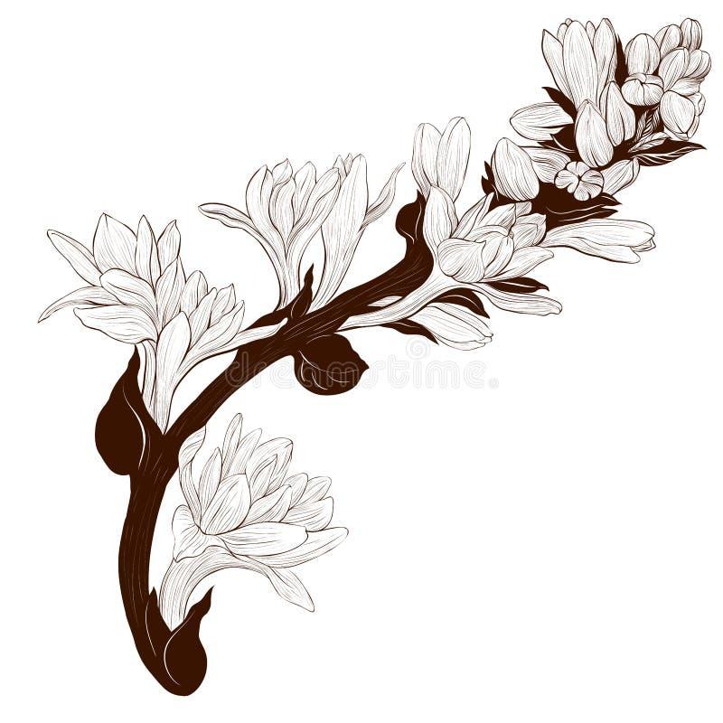 Imagem do vetor Tuberose - ramos plantas medicinais, da perfumaria e do cosmético wallpaper Use materiais impressos, sinais, cart ilustração stock