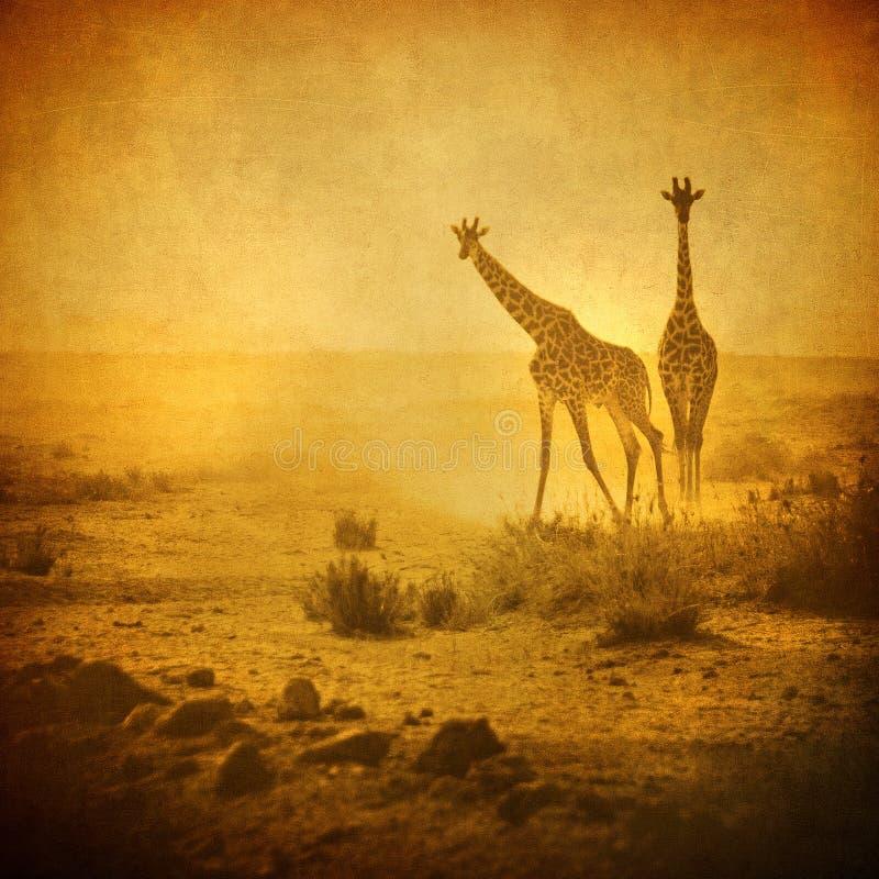 Imagem do vintage dos giraffes no parque do amboseli, kenya imagens de stock