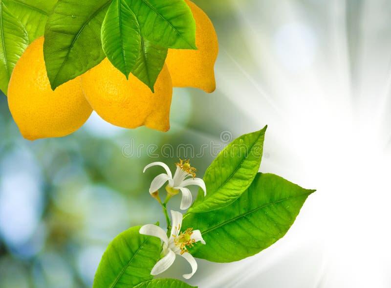 Imagem dos ramos com os limões contra o sol imagens de stock royalty free