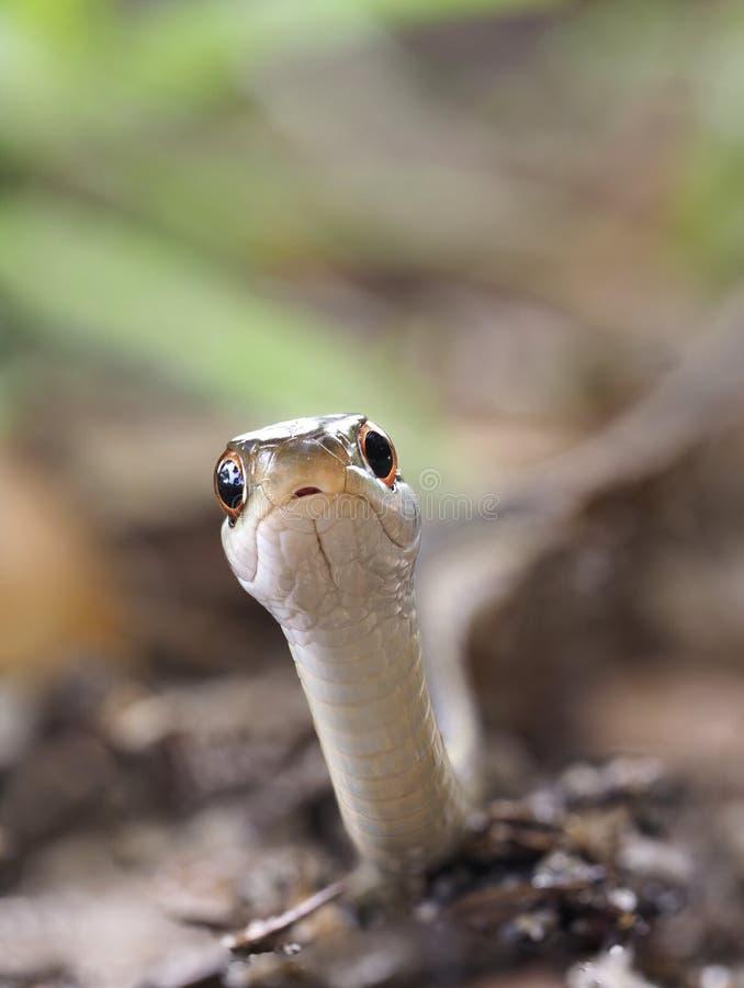 Imagem empilhada do close up foco extremo de uma serpente de fita oriental fotos de stock royalty free