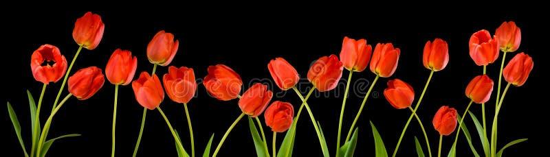 Imagem isolada de flores da tulipa no fim preto do fundo acima fotografia de stock