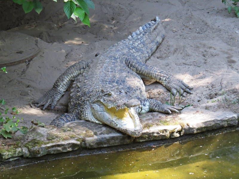 Imagem isolada do close up da boca aberta da maxila do crocodilo do jacaré fotos de stock
