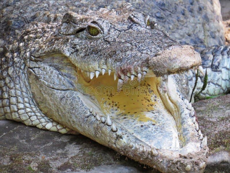 Imagem isolada do close up da boca aberta da maxila do crocodilo do jacaré imagem de stock royalty free