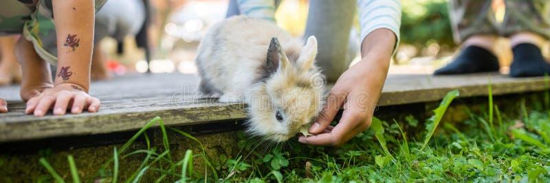 Imagem larga da vista de uma mão de um coelho do bebê do animal de estimação da alimentação de crianças foto de stock
