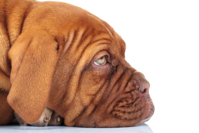 Imagem lateral do close up de um cachorrinho francês triste sonolento do mastim fotografia de stock royalty free