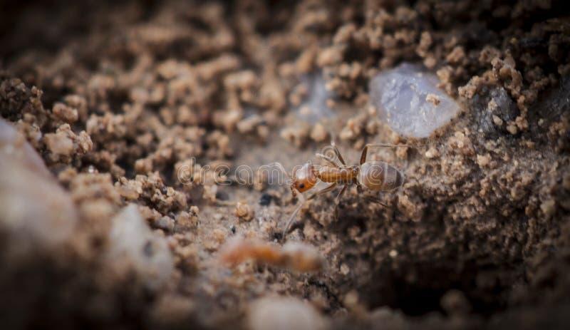 Imagem macro da formiga imagem de stock